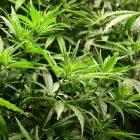 Comment se faire prescrire de l'herbe ?